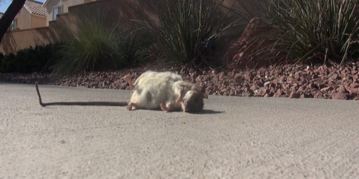 Dead Rat 01