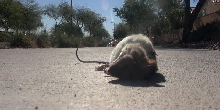 Dead Rat 02