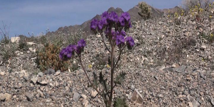 Wild Flower - Death Valley