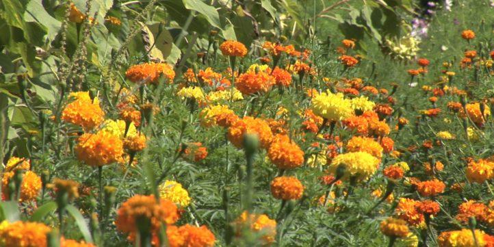 Marigold Flowers 10