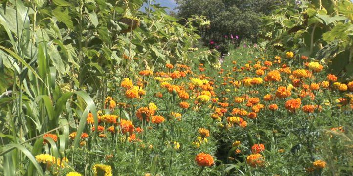Marigold Flowers 11