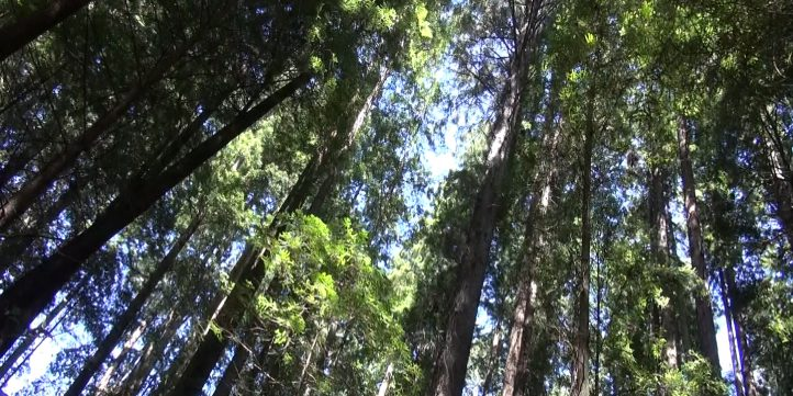 Redwood Forest 00