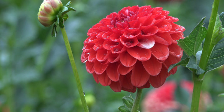 Red Lollipop Dahlia
